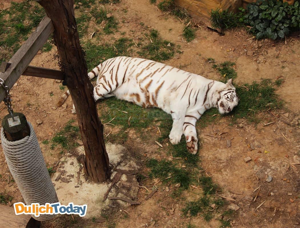 Hổ trắng tại vườn thú Thiên Đường Bảo Sơn