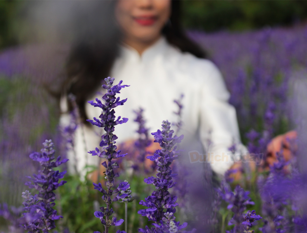 Những tấm ảnh độc nhất của du khách bên thảm hoa tím mộng mơ