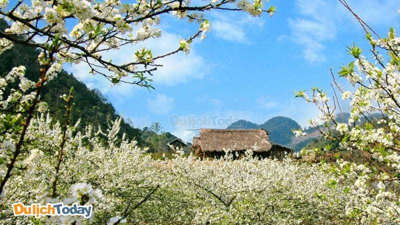 Mộc Châu của Tây Bắc là địa điểm nổi tiếng với những mùa hoa cải trắng, mùa hoa đào hoa mận nở bung