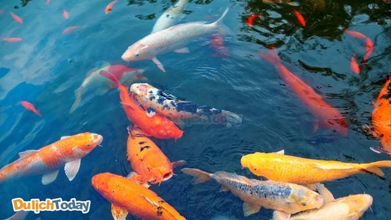 FLC-Vinh Phuc-Resort-Be ca koi