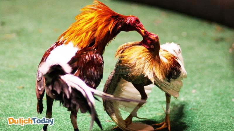 Đá gà một trong những trò chơi dân gian nổi tiếng