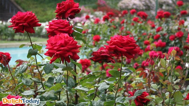 Thung lũng hoa hồng với hàng trăm loài hoa hồng khác nhau