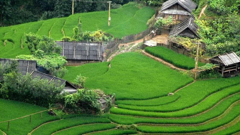 Lúa non phủ xanh các thung lũng ở Sapa vào mùa hè