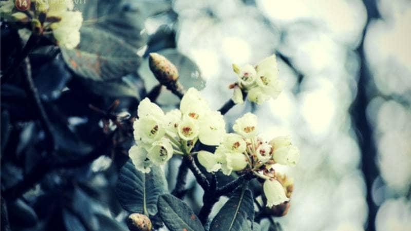 Mùa hè - mùa hoa đỗ quyên ©kenh14