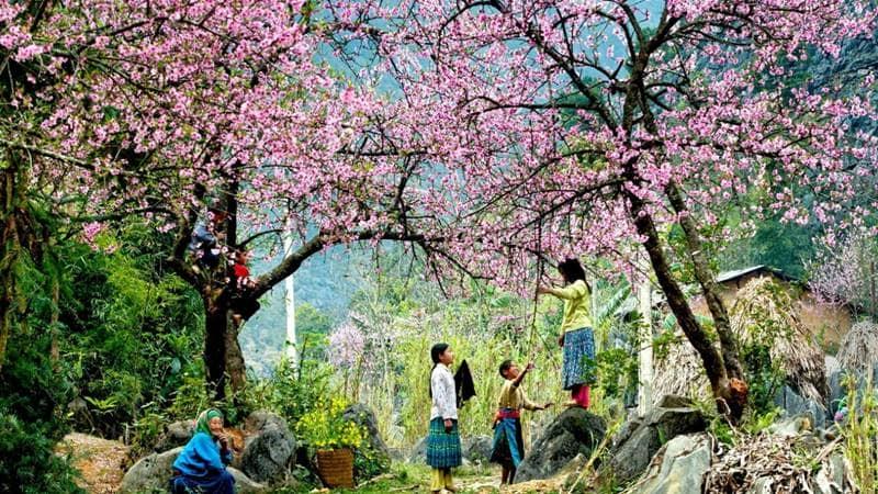 Hoa đào nở khắp các bản ©internet