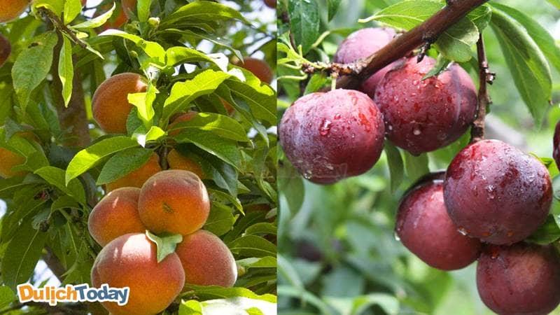 Đào và mận Sapa trĩu quả vào mùa hè