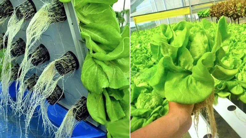 Xà lách được trồng bằng phương pháp mới