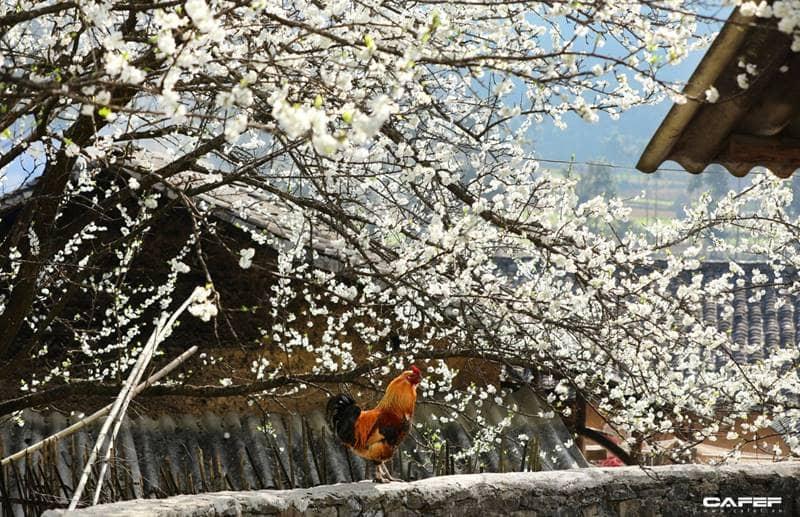 Hoa mận trắng tinh khôi trong tiết trời tháng 3 ©cafeF