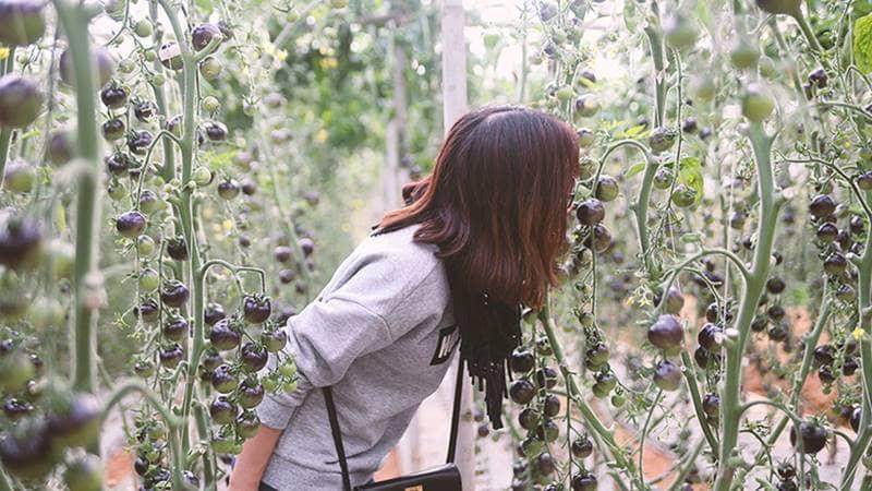 Vườn hoa Vạn Thành cũng gây trồng được cà chua đen độc đáo