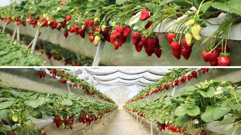 Vườn dâu Thắng Thịnh - Điểm du lịch mới tại Đà Lạt. Nguồn: Internet