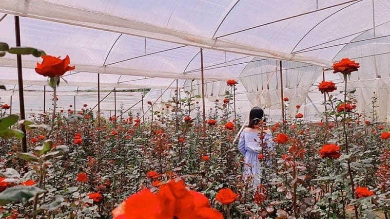 Chụp hình trong cánh đồng hoa hồng tại làng hoa