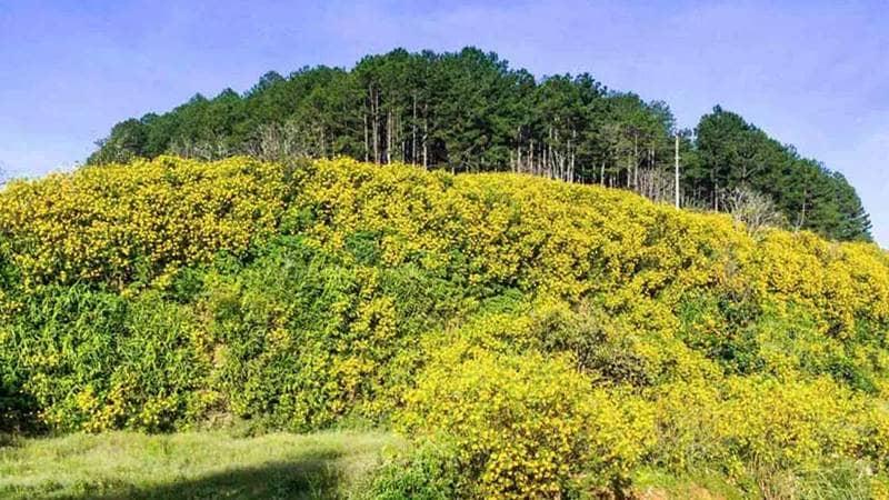 Hoa dã quỳ nhuộm vàng đèo Prenn khi Đà Lạt tháng 11