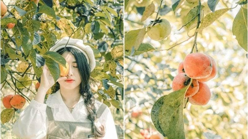Đến Đà Lạt đón mùa hồng chín vào tháng 11