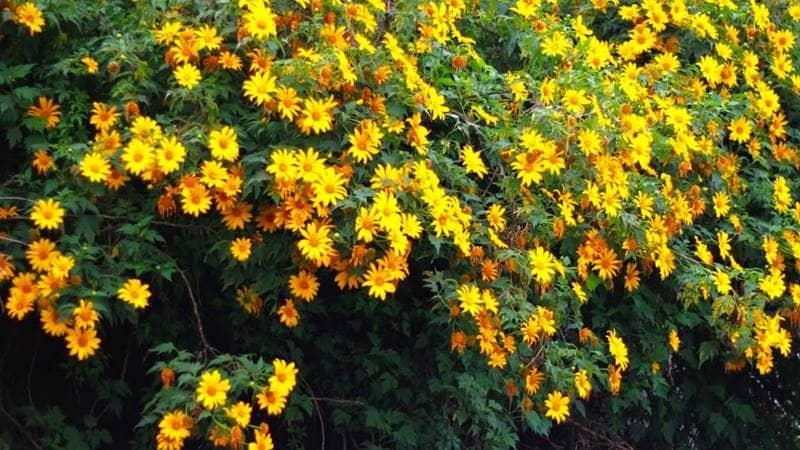 Đà Lạt tháng 11 là mùa hoa dã quỳ nở đẹp nhất trong năm