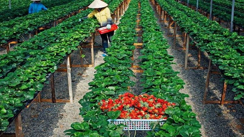 Vườn dâu Bà Vai nổi tiếng là vườn dâu sạch Đà Lạt. Nguồn: Internet