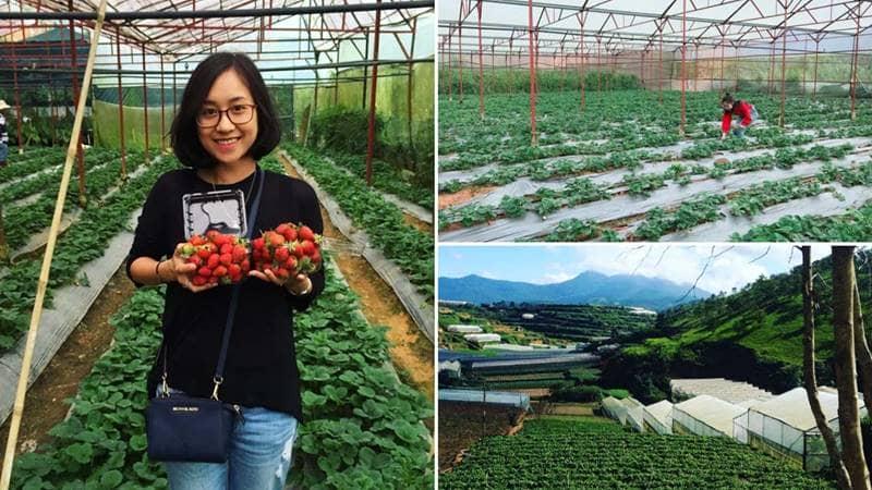 Vườn dâu chú Hùng thành phố Đà Lạt Lâm Đồng. Nguồn: Internet