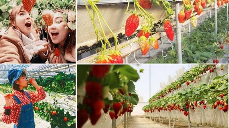 Review 10+ vườn dâu Đà Lạt được du khách ghé thăm NHIỀU NHẤT