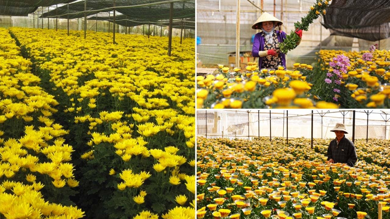 Cúc là loài hoa Đà Lạt được trồng nhiều với những giống đa dạng chỉ sau hoa hồng. Nguồn: Internet
