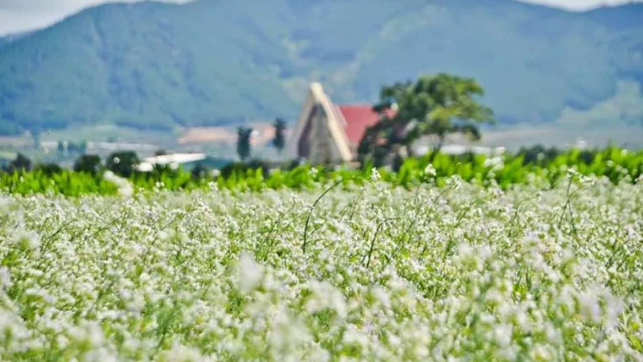 Mùa hoa cải trắng nở rộ khi Đà Lạt sang tháng 4
