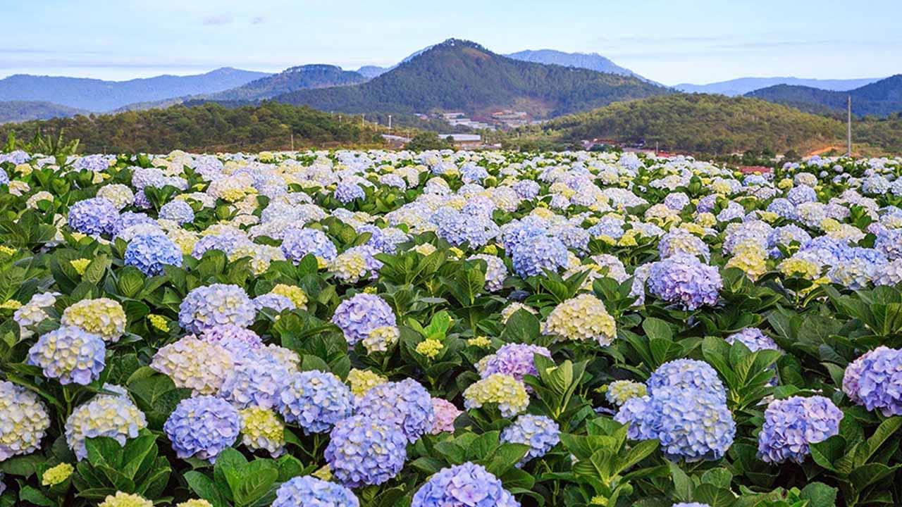 Cẩm tú cầu là loài hoa Đà Lạt được trồng nhiều nhất, sinh trưởng tốt hơn hẳn những địa phương khác. Nguồn: Internet