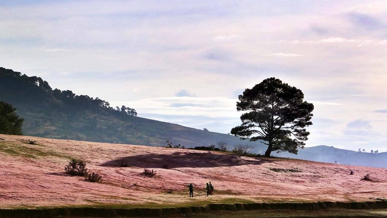 Đồi cỏ hồng Đà Lạt trải dài ngay dưới chân Cây Cô Đơn. Nguồn: Internet
