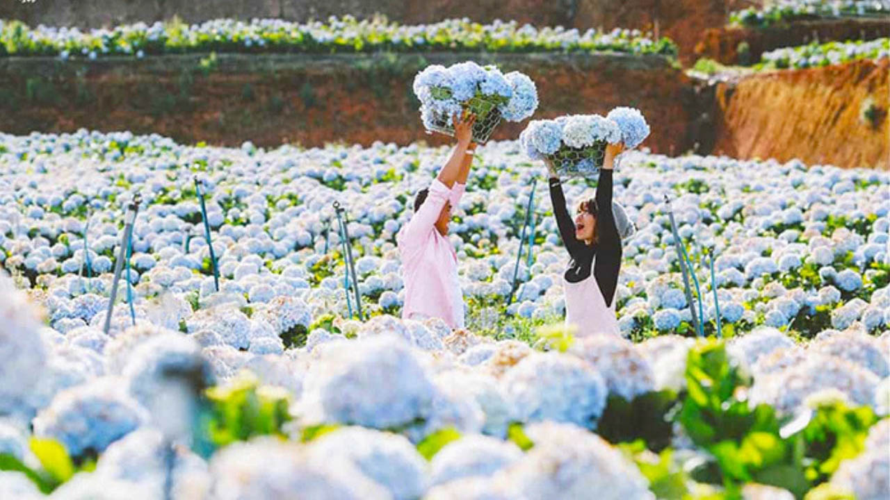 Cùng với người yêu có những bức ảnh cực chất tại cánh đồng hoa cẩm tú cầu