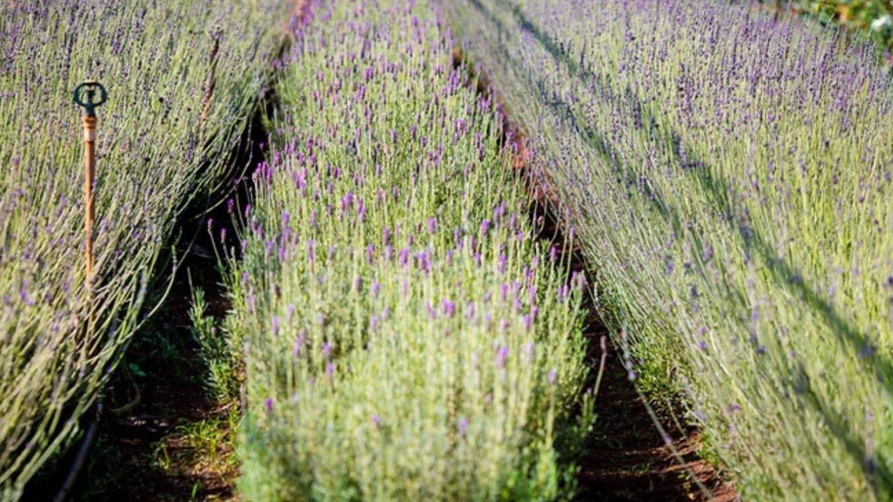 Hoa Lavender trong làng hoa Vạn Thành