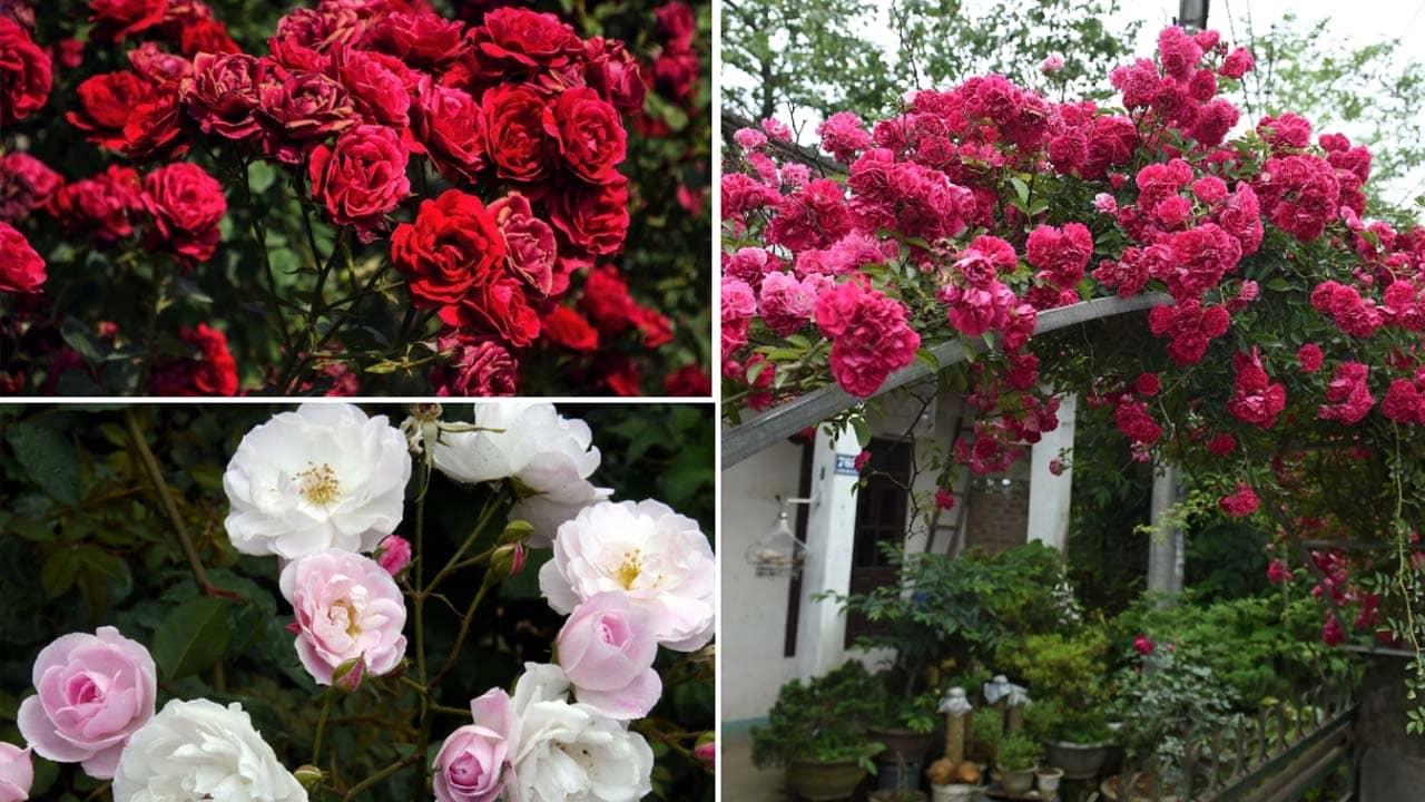 Hoa hồng là giống hoa Đà Lạt rất được chị em ưa chuộng bởi vẻ kiều diễm muôn màu muôn vẻ, bông to và khỏe hơn các nơi khác. Nguồn: Internet