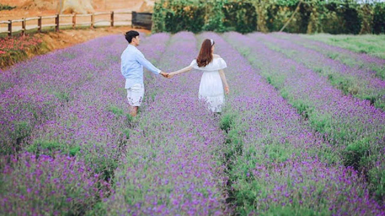 Chụp ảnh tại vườn hoa Lavender gần đồi chè Cầu Đất