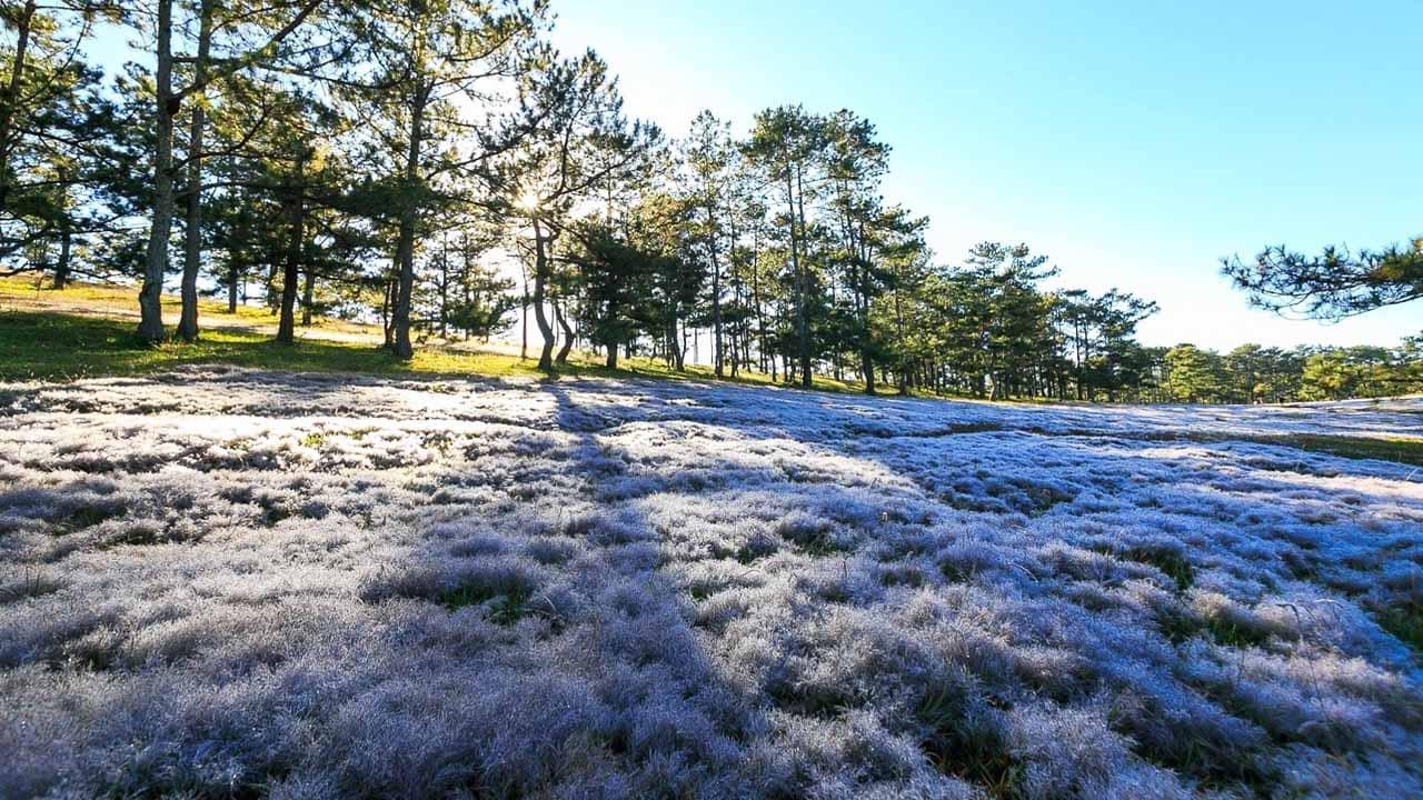 Đồi cỏ hồng Đà Lạt lúc sớm ban mai có màu trắng tinh khôi. Nguồn: Internet