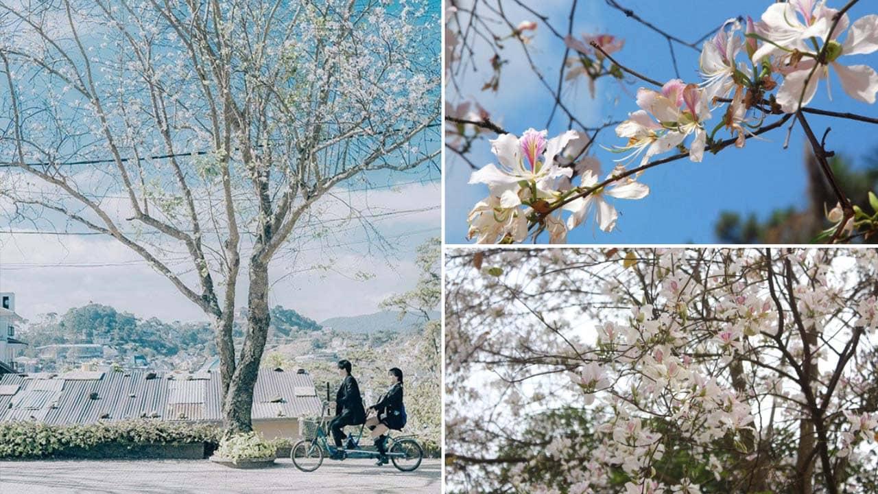 Cây hoa ban trắng với vẻ đẹp trắng tinh khôi điểm xuyết cho những con đường ở Đà Lạt. Nguồn: Internet