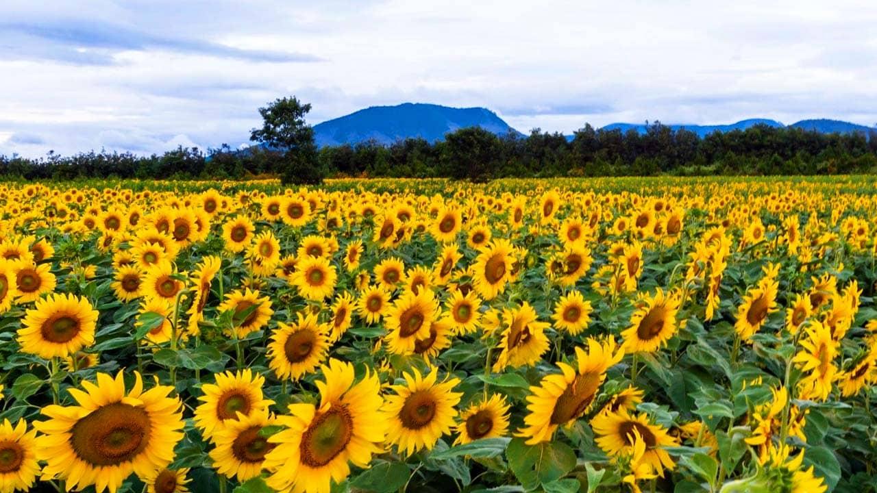 Cánh đồng hoa hướng dương Đà Lạt. Nguồn: Internet