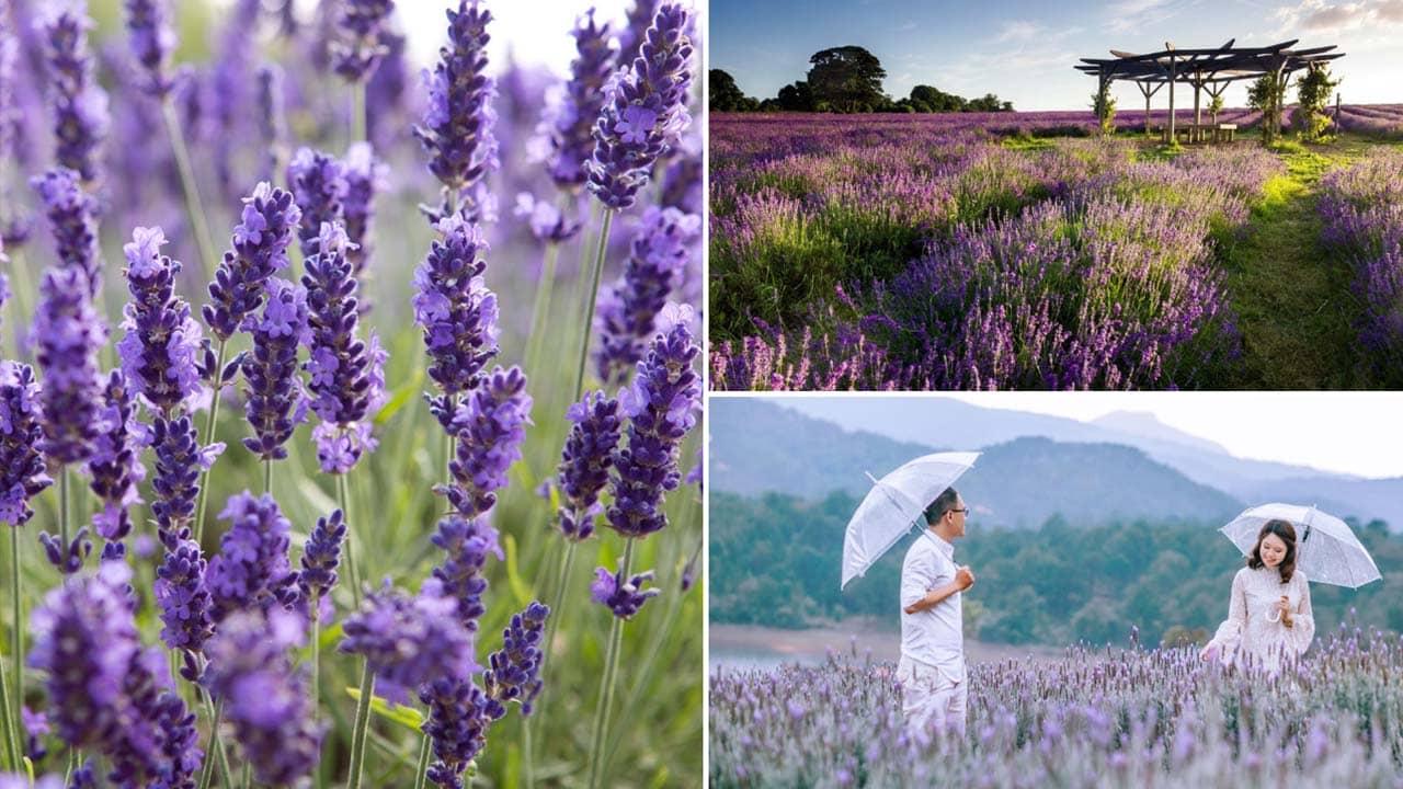 Sắc tím nhuộm khắp cánh đồng hoa Lavender Đà Lạt. Nguồn: Internet