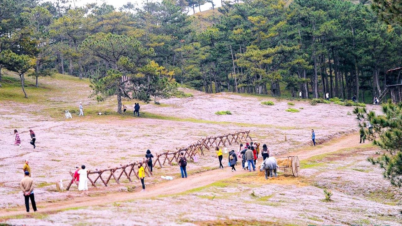 Lễ hội cỏ hồng Đà Lạt thu hút du khách tới tham quan. Nguồn: Internet