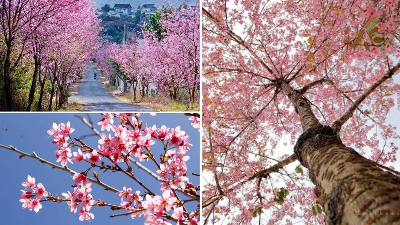 Mai anh đào - loài hoa Đà Lạt đặc trưng của ngày Tết Âm lịch tại thành phố. Nguồn: Internet