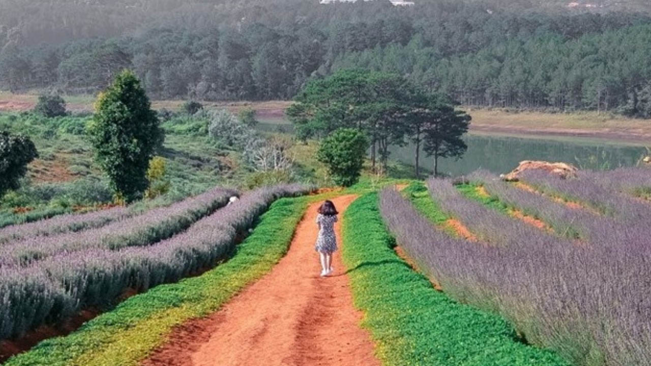 Tháng 7 bắt đầu mùa hoa Lavender ở Đà Lạt