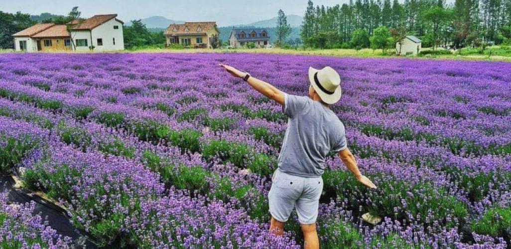 Vườn hoa Lavender trong làng hoa Vạn Thành