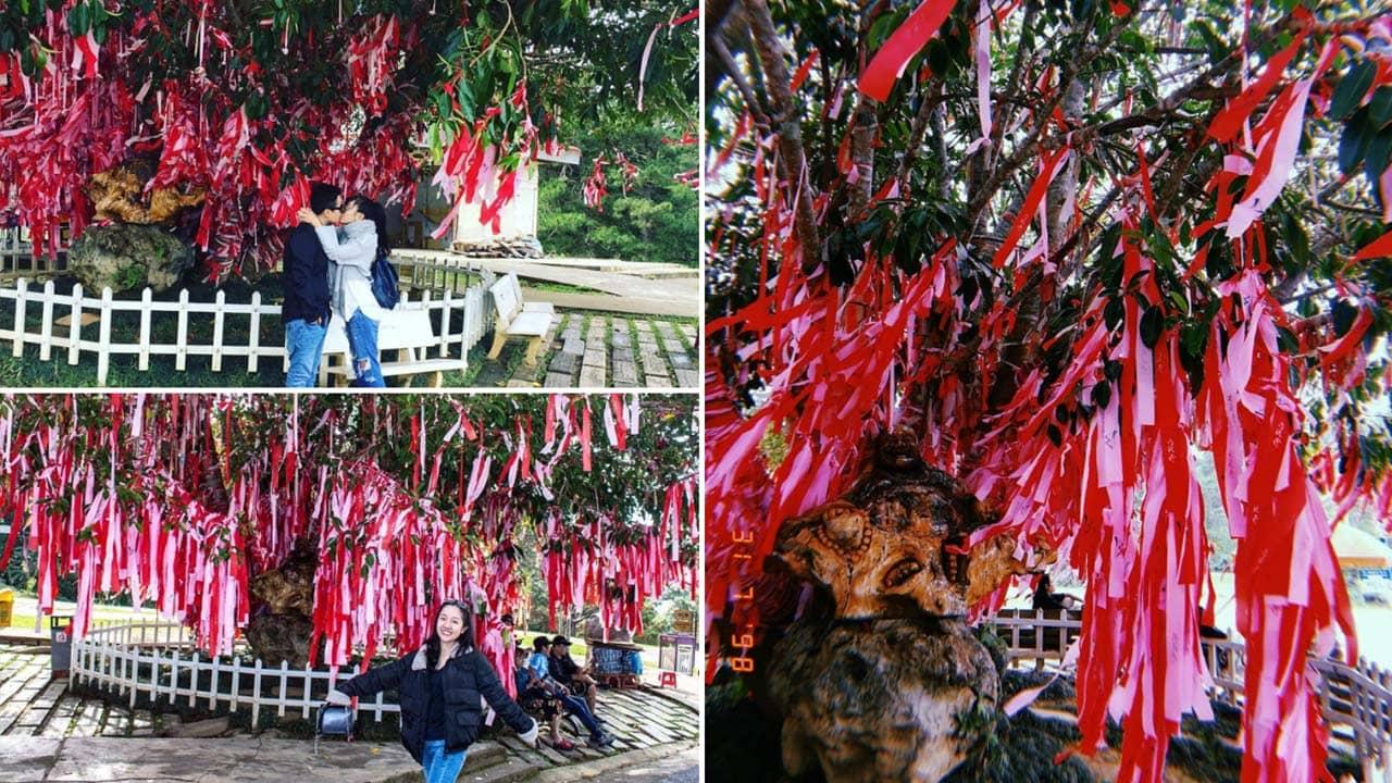 Cây Tình Yêu thu hút du khách tới check-in, các cặp đôi hào hứng treo dải lụa hẹn ước lên cây. Nguồn: Internet