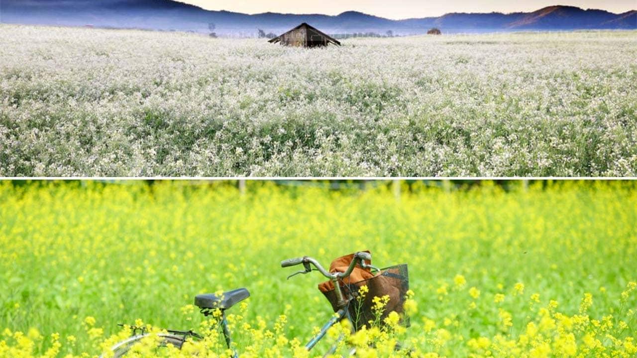 Cánh đồng hoa Đà Lạt trồng hai loại cải trắng và cải vàng nở rộ vào tháng 12. Nguồn: Internet