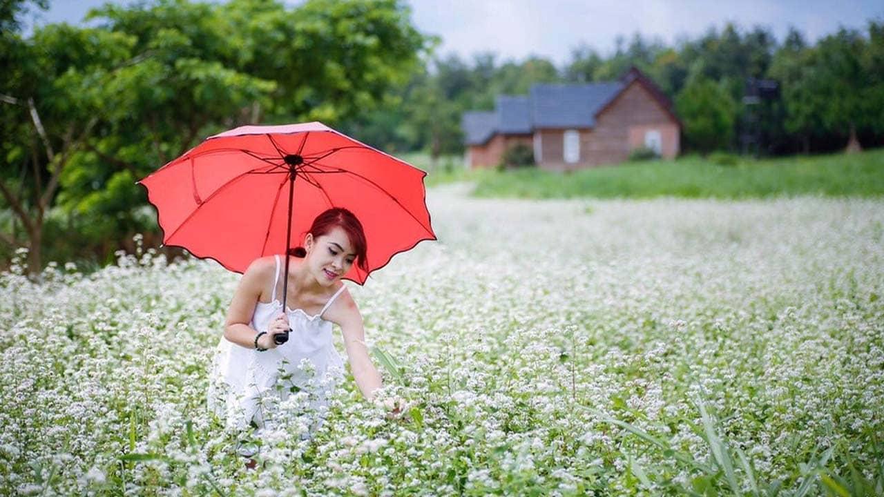 Cánh đồng hoa Đà Lạt trồng tam giác mạch. Nguồn: Internet