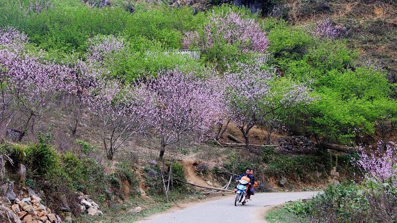 Hoa đào nở khắp cung đường ở Thung Lũng Sủng Là. Nguồn: Internet