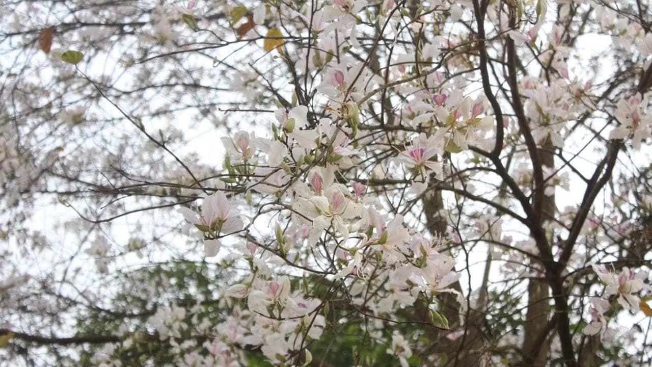 Hoa ban trắng tuyệt đẹp nở rộ trên cung đường tới Mộc Châu vào tháng 3. Nguồn: Internet