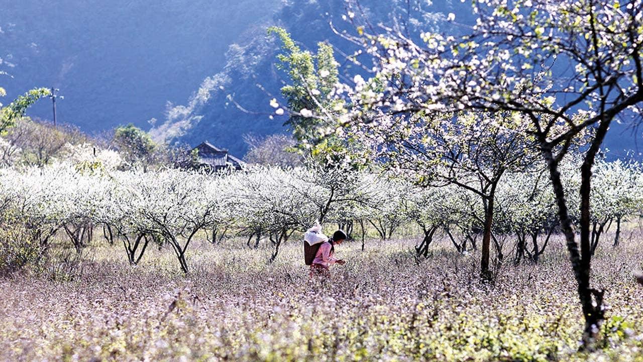 Mộc Châu - Địa điểm du lịch tháng 3 để ngắm hoa ban đẹp nhất. Nguồn: Internet