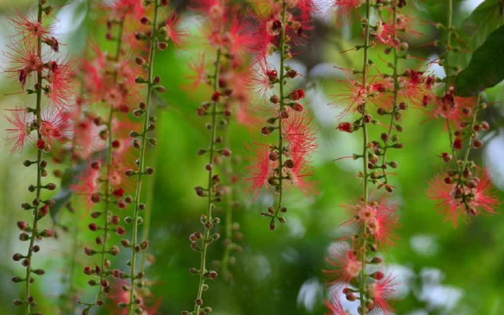 Hoa lộc vừng nở bung trải thảm đỏ khắp hồ
