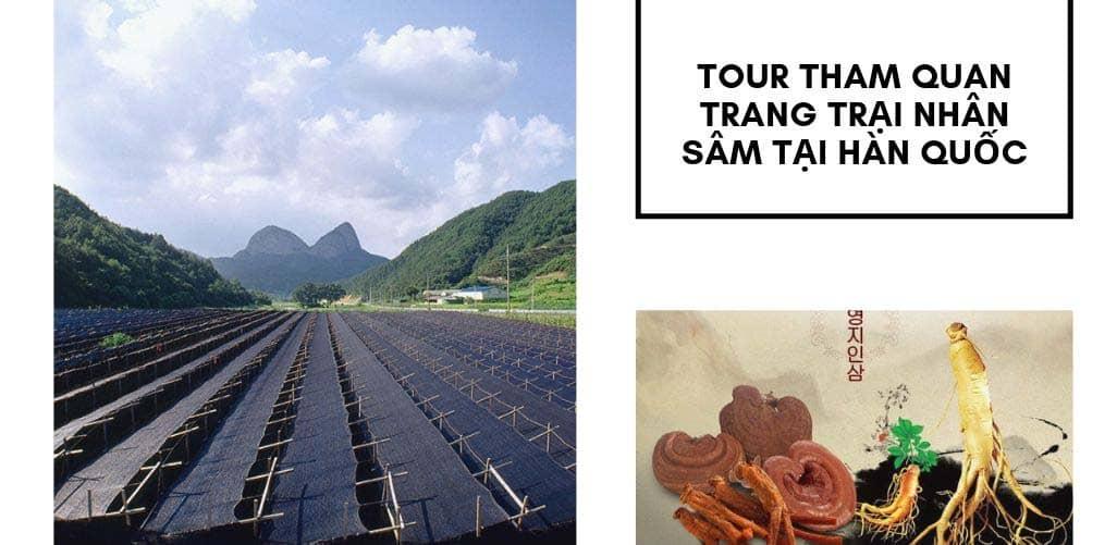 Du khách sẽ được ghé đến Gumsan - tham quan làng nông trại trồng nhân sâm nổi tiếng Hàn Quốc