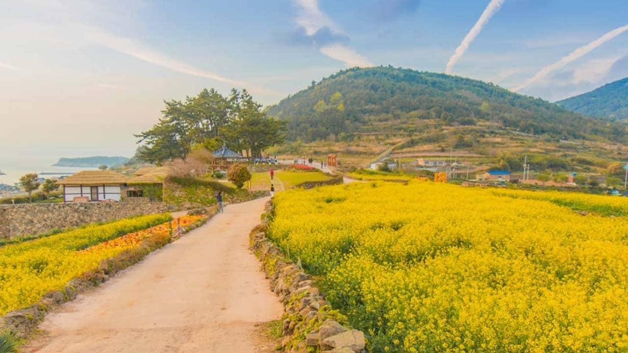 Hoa cải dầu vàng ươm dọc Đường Chậm Rãi số 1 thế giới, Đảo Cheongsando