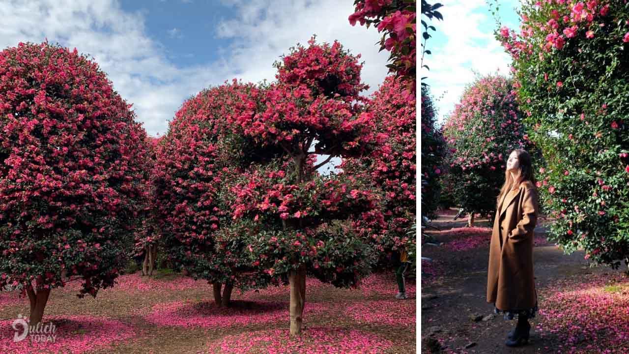 Địa điểm du lịch Hàn Quốc mùa đông tuyệt đẹp - đồi Camellia