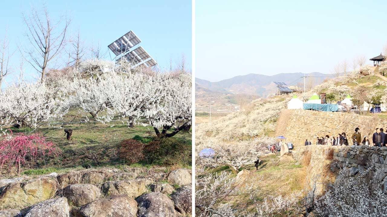 Đón hoa tuyết trắng xóa ở làng Gwangyang Maehwa