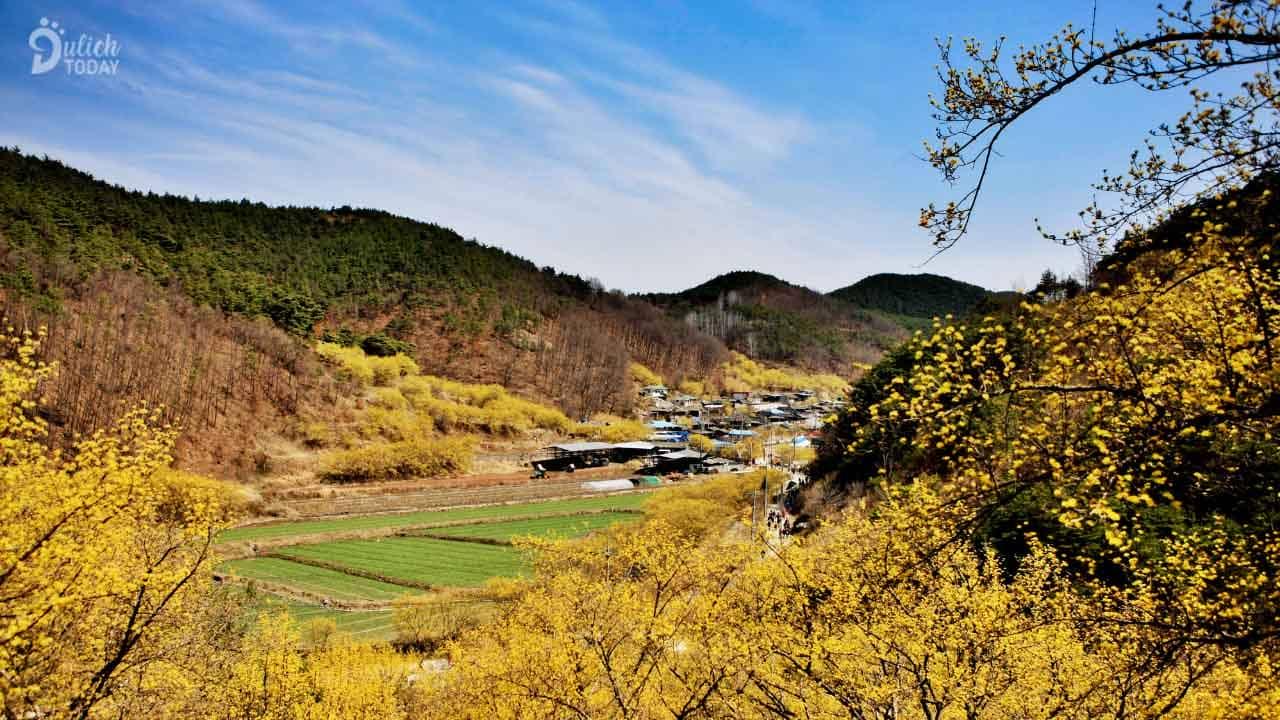 Làng Icheon Sansuyu ngập tràn trong sắc vàng rực rỡ