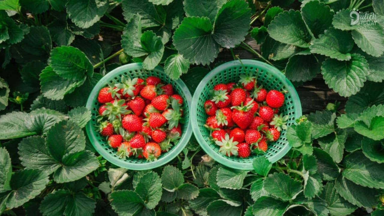 Mùa xuân nhất định phải ăn dâu tây đỏ mọng, giòn ngọt